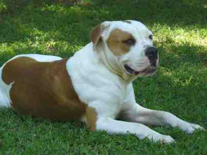 brown and white american bulldog american bulldogs in south africa 2924