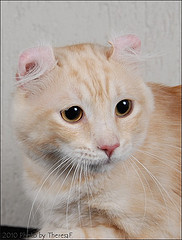 American curl cat with big amber eyes, showing ear curl backwards