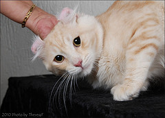 Ginger American Curl cat with ears folding back naturally
