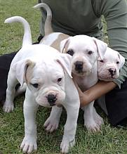 American bulldogs in South Africa