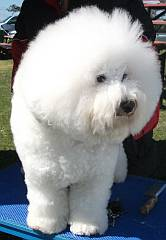 Bichon Frise & other breeds in South Africa