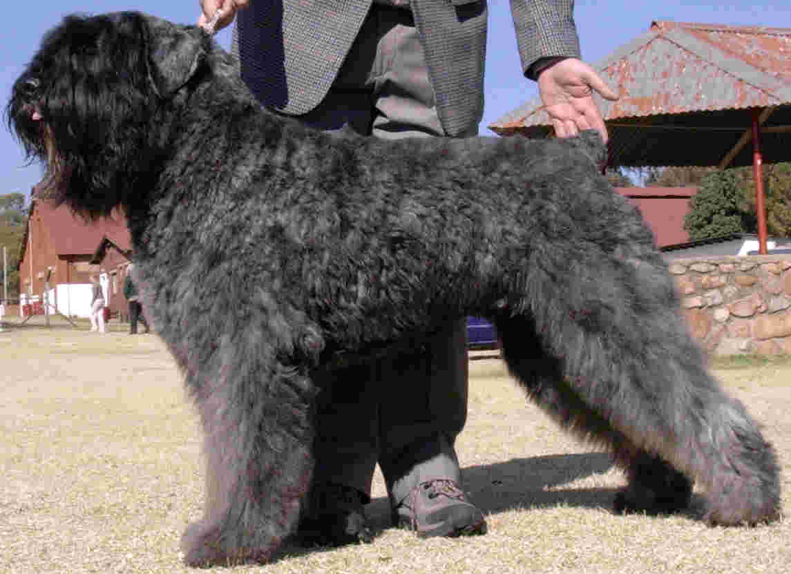 Bouviers Puppies Bouvier Breeders In South Africa