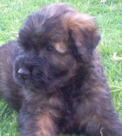Bouviers, puppies, & Bouvier breeders in South Africa