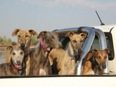 Our pack of windhondes in a bakkie