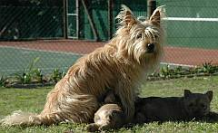 Adult dog with Cairn puppies