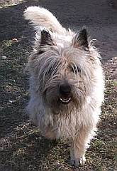 Rough coated Cairn terrier with tousled hair