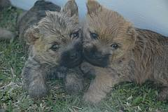 2 young cairn puppies