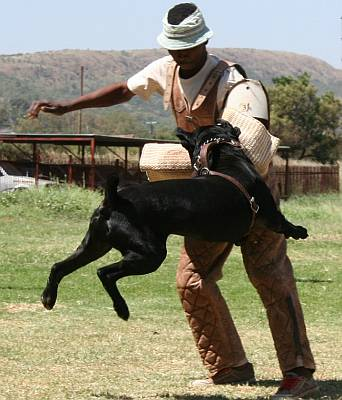 Black cane corso being trained to attack