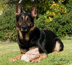 German Shepherds & German Shepherd Breeders in South Africa