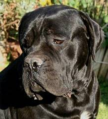 Large head of cane corso
