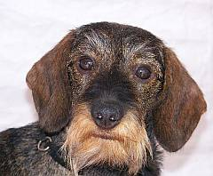 Clearview Breeder Of Miniature Long Haired Dachshunds In