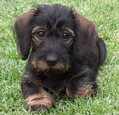 Miniature Long Haired Dachshunds