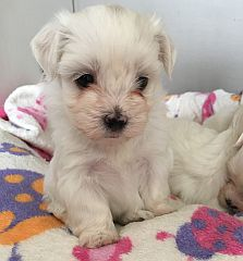 Maltese dogs & puppies in South Africa