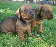 Two brown dachsund puppies sitting on the grass