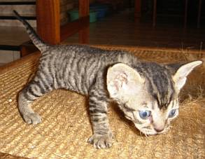 Devon Rex Cats In South Africa