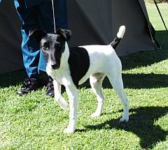 English smooth coat fox terriers in South Africa Smooth Fox Terrier South Africa
