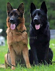 A solid black, and a black and tan German Shepherd Dog