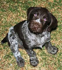 German Wirehaired Pointers In South Africa