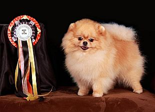 A show dog with a rosette