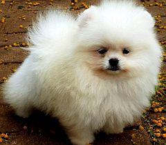 Pomelene - Breeders of Pomeranians