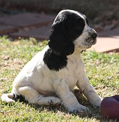 Black and white spaniel puppy