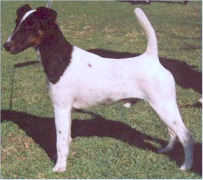 Smooth fox terrier  white coat Smooth Fox Terrier South Africa