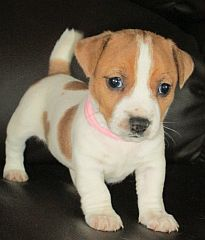 Puppies from Jack Russell breeders in South Africa
