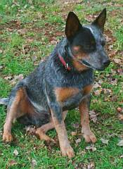 An australian cattle dog on the look-out