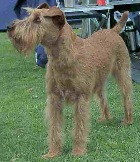 Irish terrier, red, short hair, with beard & eyebrows