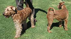 2 Irish terriers at a dog show