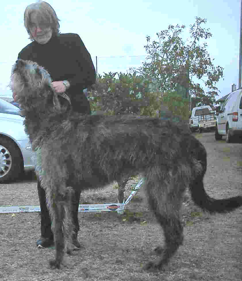 Irish Wolfhounds In South Africa The Tallest Dog In The