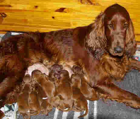 Irish Setter Puppies on Newborn Irish Setter Puppies Suckling