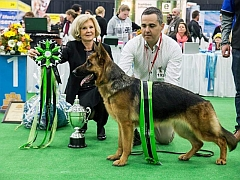 Champion German Shepherd Dog in the show ring