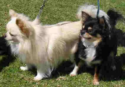 Long haired Chihuahuas belonging to Terstia van der Watt, South Africa