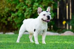 Pied White French bulldog with black markings.