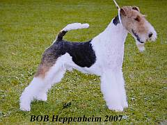 Puppies From Fox Terrier Breeders In South Africa