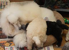 White fluffy miniature poodle playing with puppies
