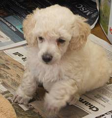 White curly miniature poodle puppy