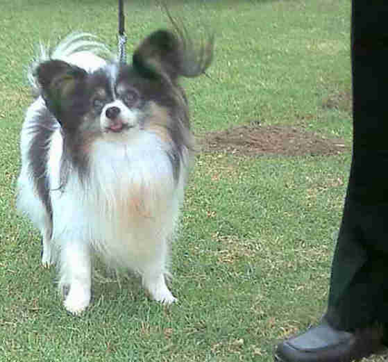 Papillon Dogs Puppies Breeders In South Africa