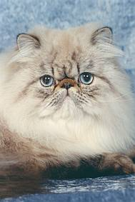 Fluffy brown persian with blue eyes & wrinkled face