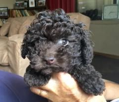 Little Toy Poodle Puppies Black Curly Puppy