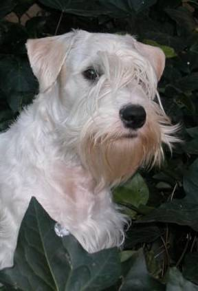 Sealyham terrier's head peeping out of ivy
