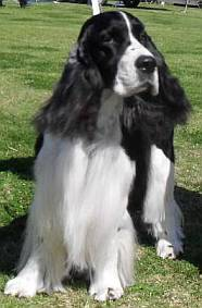 Springer spaniel face with serious expression