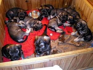 Standard schnauzer puppies in a whelping box