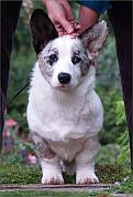 blue merle corgi with ears pricked up