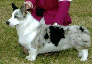 Side view. cardigan corgi, blue & white patches
