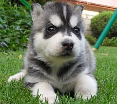 Siberian Husky Puppies In South Africa