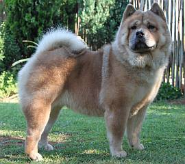 short-haired chow chow
