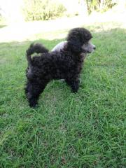 Below Toy Poodle Shogun