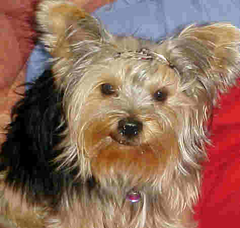 THis Yorkie has hair clips to keep hair out of eyes.